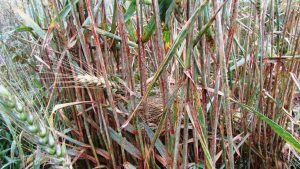 detection of stem rust race rrttf in ecuador a potentially important new race for the americas