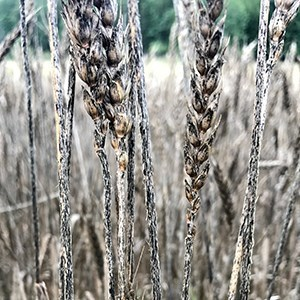 stem rust attacks in sweden heralds the return of a previously vanquished foe